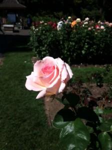 Portland Intnational Rose Garden
